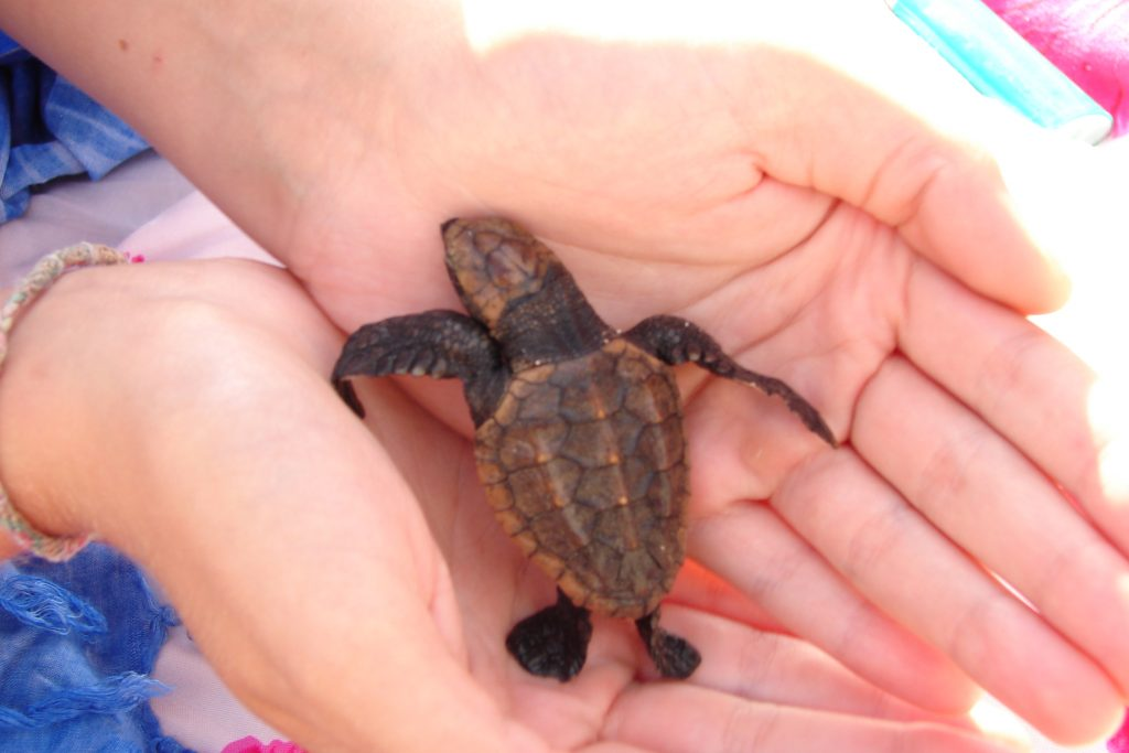 Baby turtle on Lady Musgrave Island