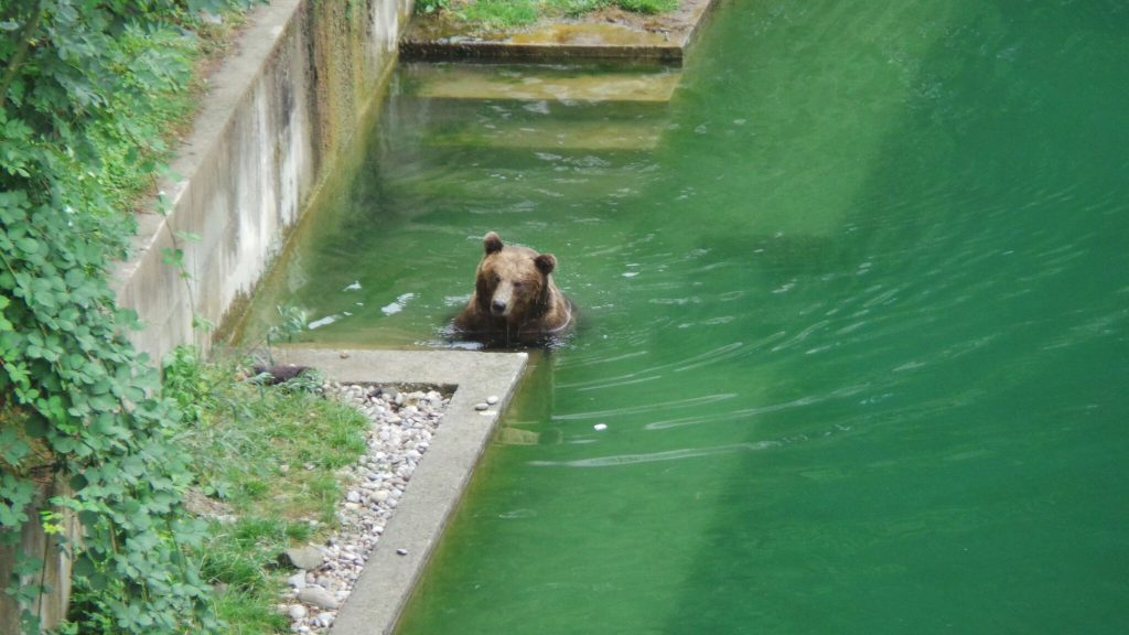 Bear in Bern Bear Park, Switzerland