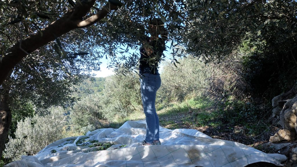 picking olives in Croatia